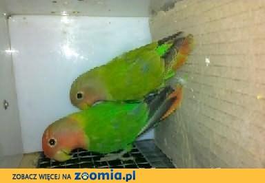 papugi Nierozłączki
