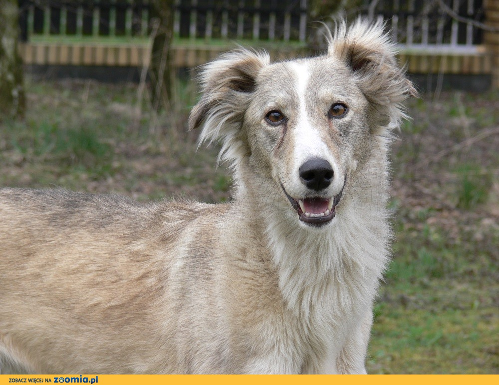 Zaktualizowano Ogłoszenia: oddam psa, oddam szczeniaka Chart pl 1 OV45