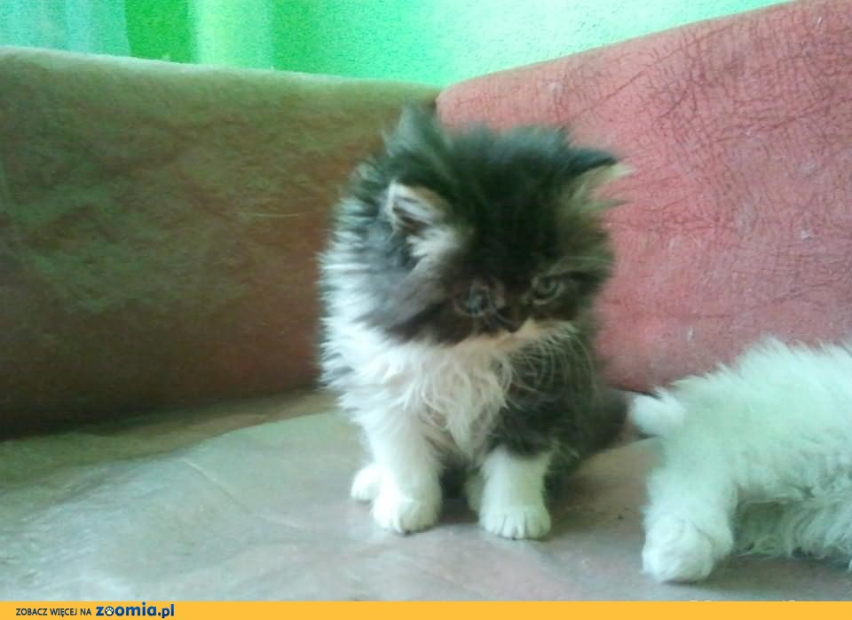 Wspaniały Kot perski, Pers - ogłoszenia z hodowli. Koty perskie / Zoomia.pl pl 2 SR71