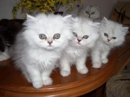 kocięta perskie-szynszylowe srebrzysto-białe zielonookie
