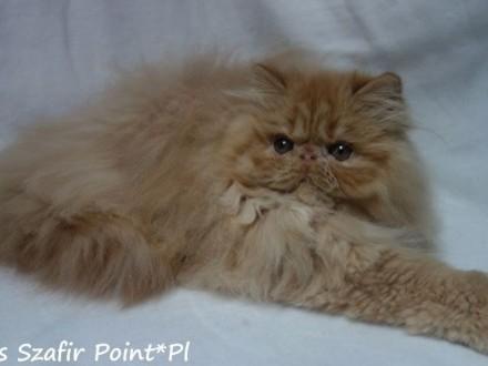 Koteczka perska   ruda z rodowodem FPL
