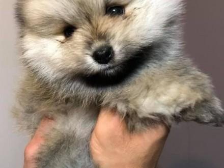 Szpic Miniaturowy Pomeranian Boo Dziewczynka