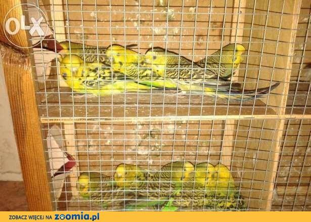 Papugi faliste papuga falista papużki