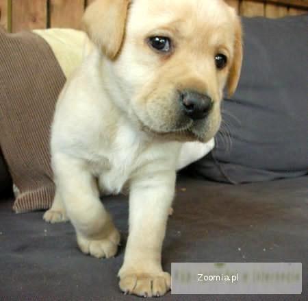 labrador - szczenięta rodowodowe
