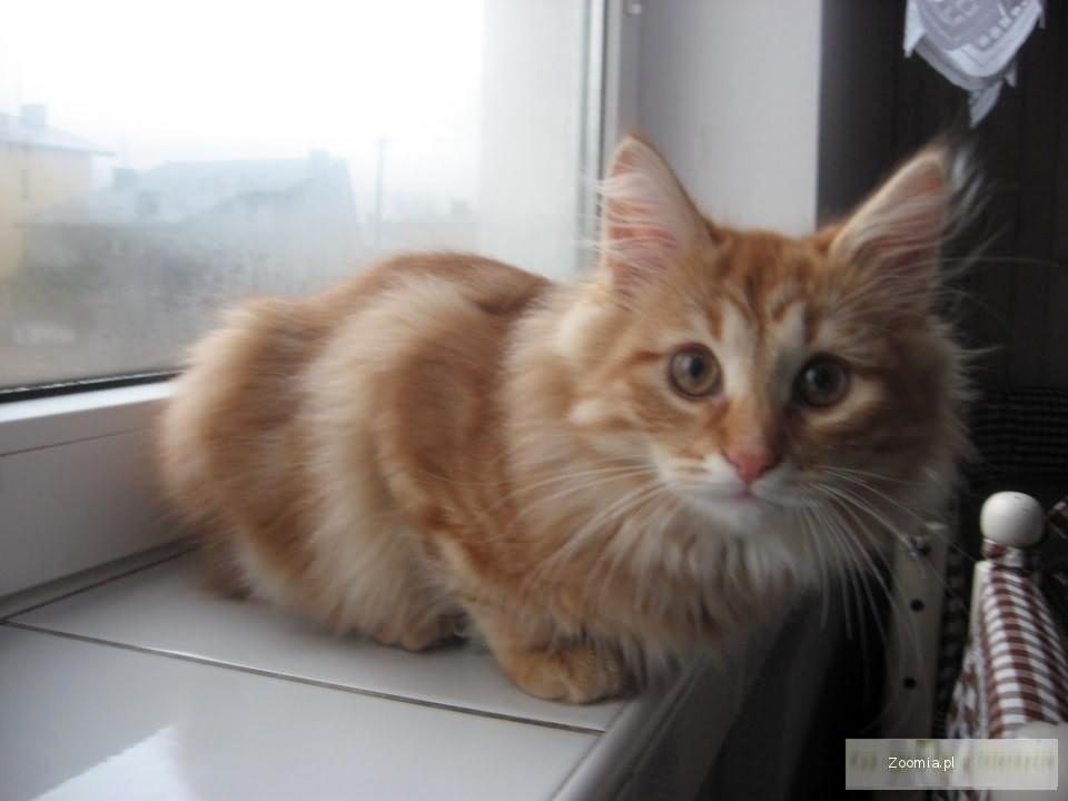 Przepiękny Kot Syberyjski Rudy Syberyjskie łódzkie Rodowód