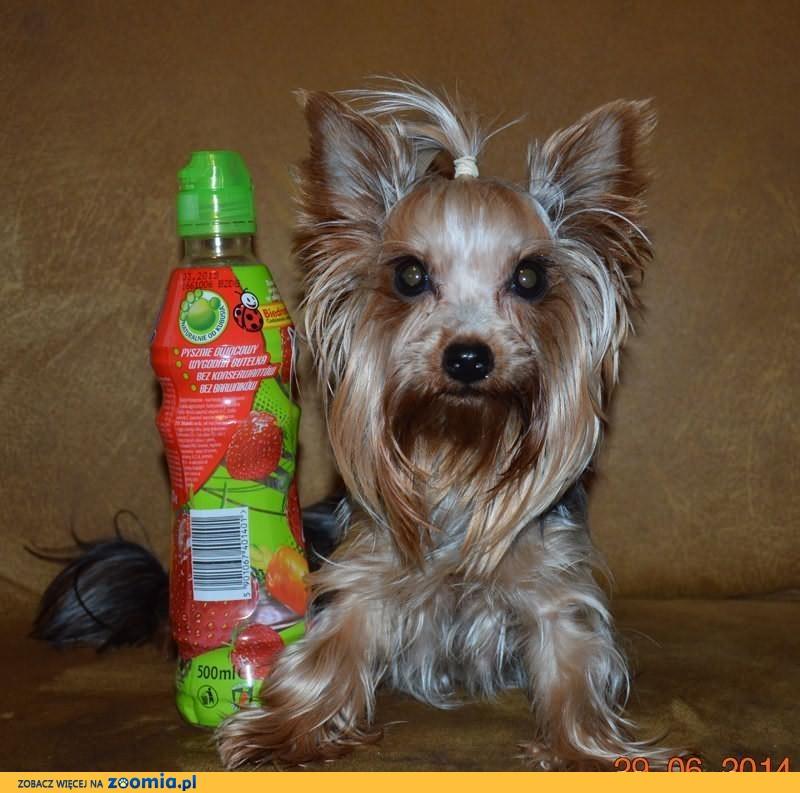 YorkShire Terrier - szczenięta