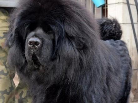 Mastif Tybeta