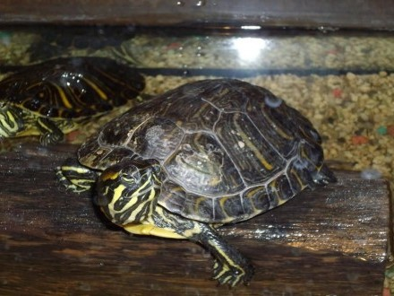Żółw wodno-lądowy żółtolicy