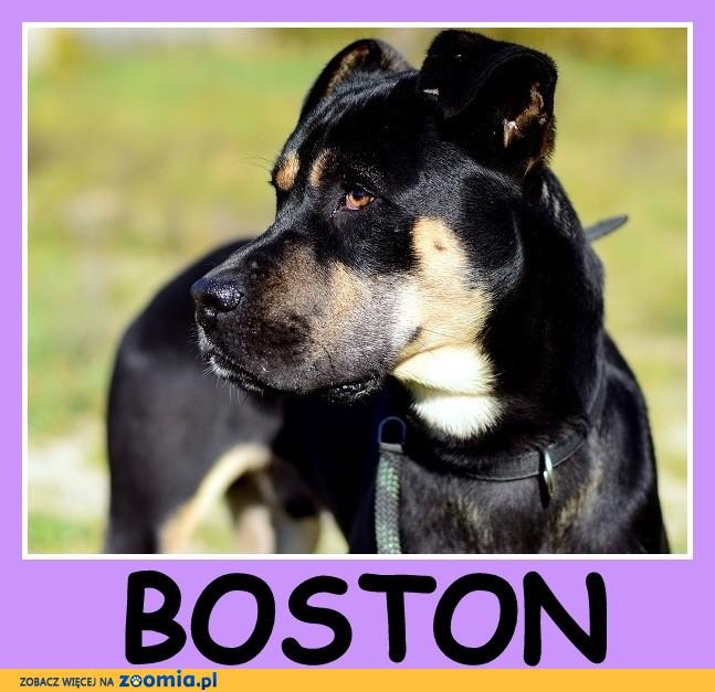 28 kg, typ boksera, łagodny,przyjacielski ,kontaktowy pies BOSTON_Adopcja