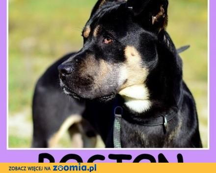 28 kg  typ boksera  łagodny przyjacielski  kontaktowy pies BOSTON_Adopcja