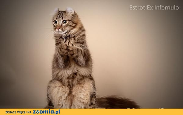 Estrot Ex Infernulo - kot Piotrusia Pana - American Curl Longhair