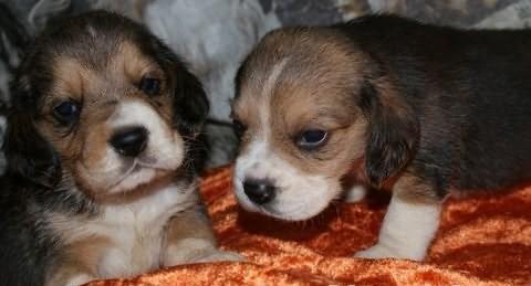 Beagle - szczenieta - pieski