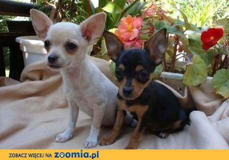 Chihuahua krótkowłosy-2 suczki i piesek z rod ZKwP