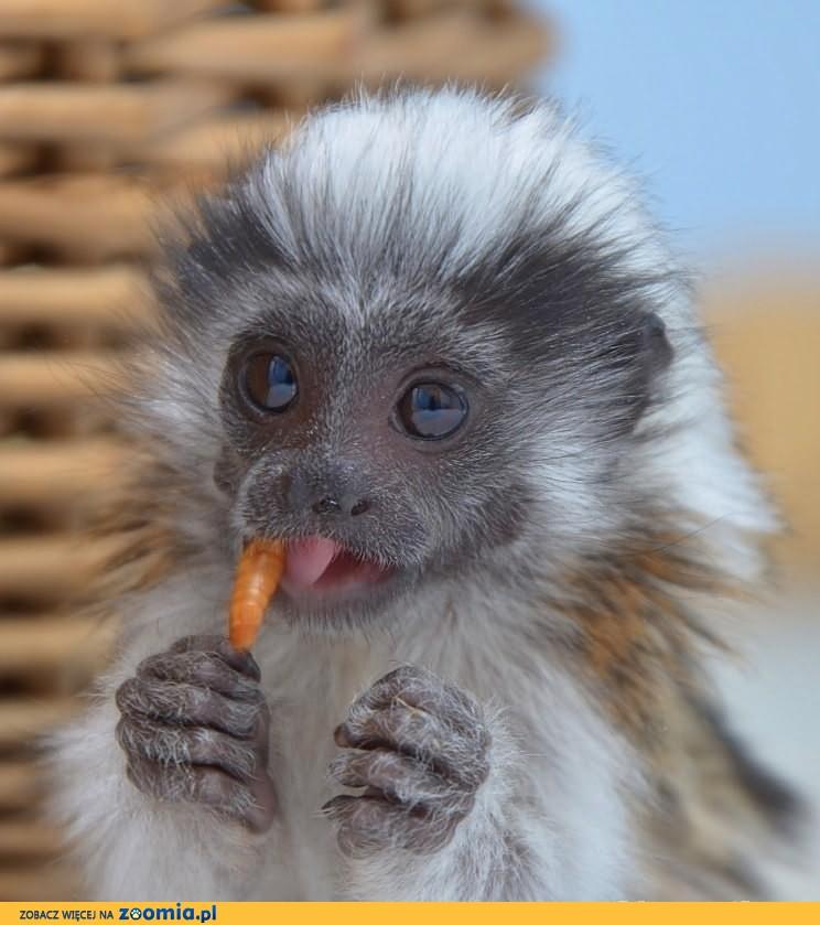 Małpka Tamaryna Białoczuba 5 miesięcy z dokumentami
