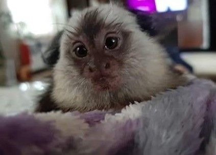 Małpka marmozeta Geoffroy