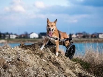 TOFFIK - odlotowy pies! I co z tego  że na wózku jest?!   małopolskie Kraków
