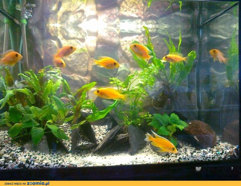 Aulonocara Fire Fish - dorosle /pyszczaki z Malawi