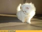 Piękna kotka perska,  lubelskie Biała Podlaska