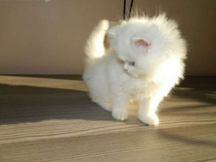 Piękna kotka perska   lubelskie Biała Podlaska