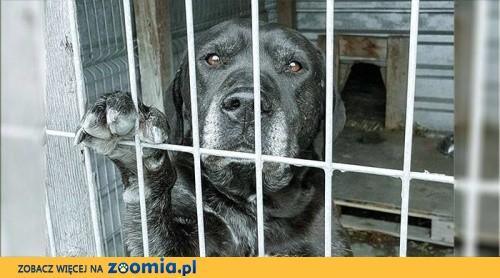 Lobo - labrador wymieniony na nowszy model szuka domu