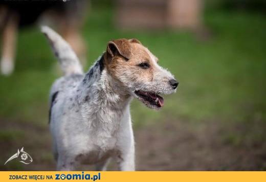 ZYZIA - radocha na łapach i mordka kudłata,  małopolskie Kraków