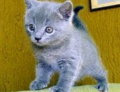 Koty-kartuskie z hodowli KOCI KOSZ*PL