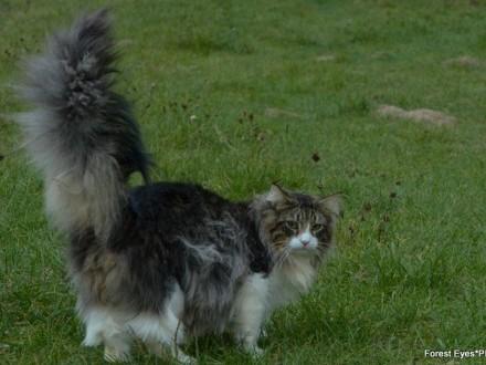 W superbly Kot norweski leśny - ogłoszenia z hodowli. Koty norweskie leśne FA06
