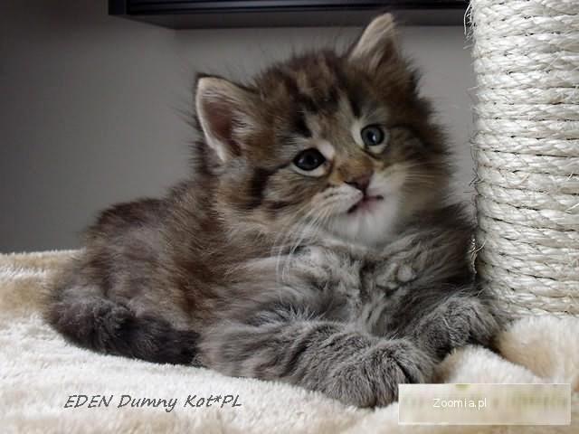 Kot Leśny Norweski Cena Vcg49 Usafrica