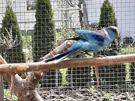 Barnard czerwonoczelny niebieska samiczka