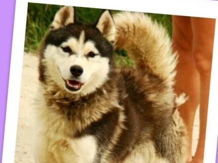Piękny husky 2 lata przyjacielski towarzyski pies BIAŁY KIEŁ_Adopcja