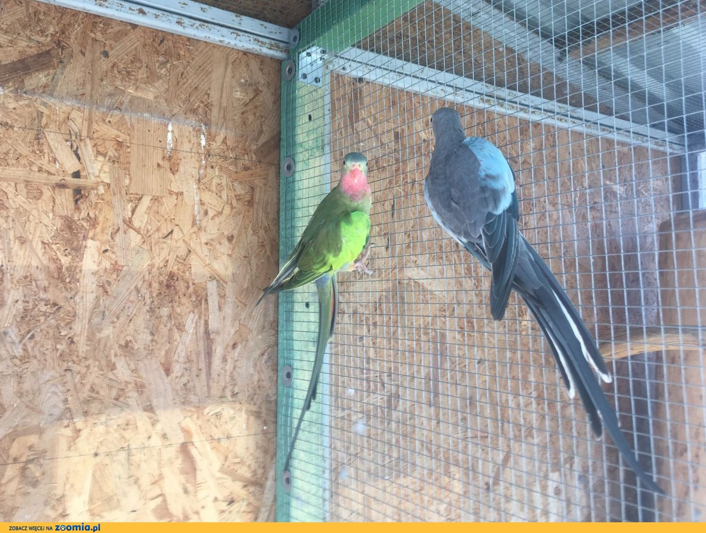 Papugi Księżniczki Wali para lęgowa