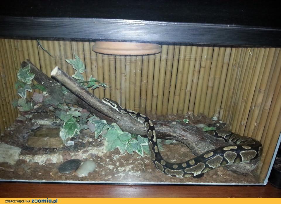 Sprzedam Węża(Pyton Królewski),wraz z terarium.