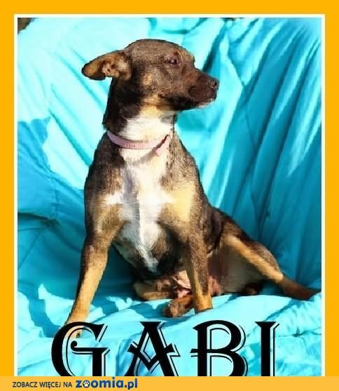 GABI-staffik mix,średnia,przyjazna,wesoła suczka,ks.zdrowia,czip.DAM