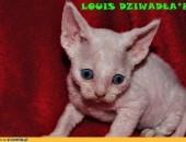 LOUIS Dziwadla*Pl- pieszczotliwy tygrysek:)              Rodowód