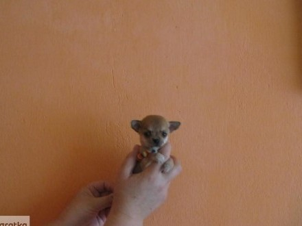 Chihuahua prześliczny super mini kieszonkowy maluch do kilograma