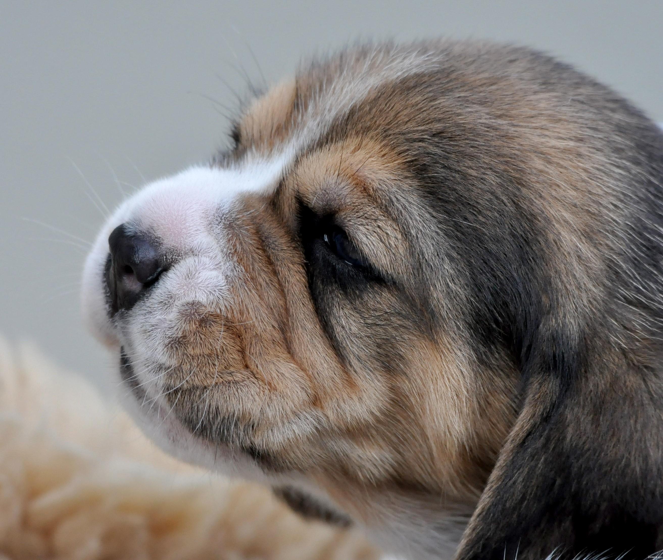 Beagle rodowodowe szczeniaki