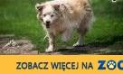 BUDYŃ - złoty kundelek da szczęścia wiele!,  śląskie Katowice