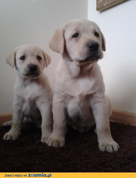 Zupełnie nowe Pies Labrador Retriever - ogłoszenia z hodowli. Psy Labradory IL03