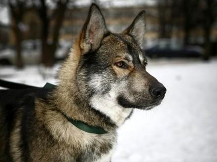 Atos - niezwykły Wilk_
