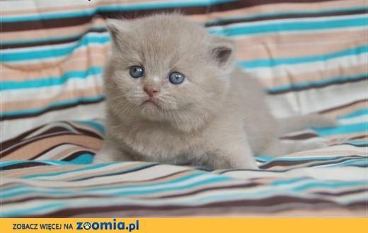 Kocięta brytyjskie kotka brytyjska rodowód WCF,  mazowieckie Grójec