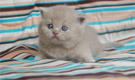 Kocięta brytyjskie kotka brytyjska rodowód WCF   mazowieckie Grójec
