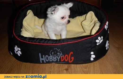 Chihuahua - śliczna biała sunia! ,  wielkopolskie Poznań