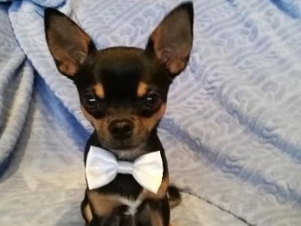 Reproduktor Chihuahua Tricolor !!! Wyjątkowy Piesek !! Wielokrotny Tatuś