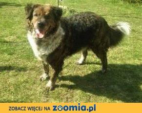 STEFCIO  - duży, kochany psiak do adopcji z domu tymczasowego,  małopolskie Kraków