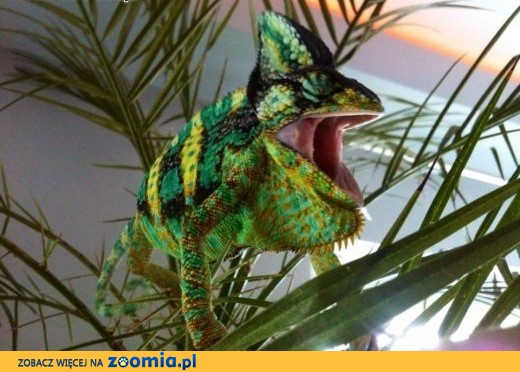 Sprzedam młode kameleony jemeńskie,  warmińsko-mazurskie Olsztyn