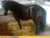 Sprzedam Klacz kuc,  Konie hodowlane cała Polska