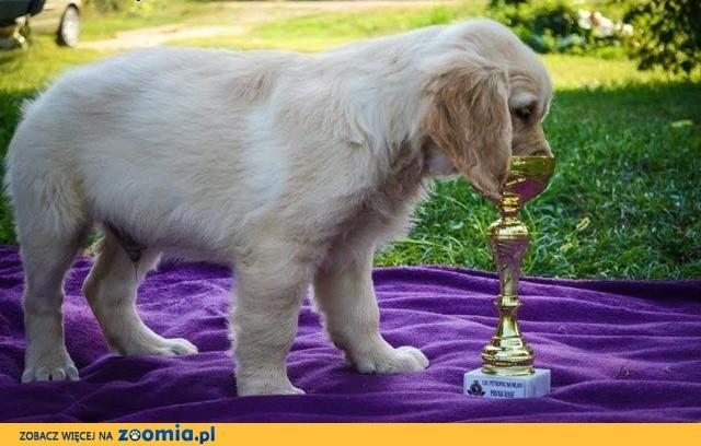 Golden retriever piękne szczenięta,  Labrador retriever cała Polska
