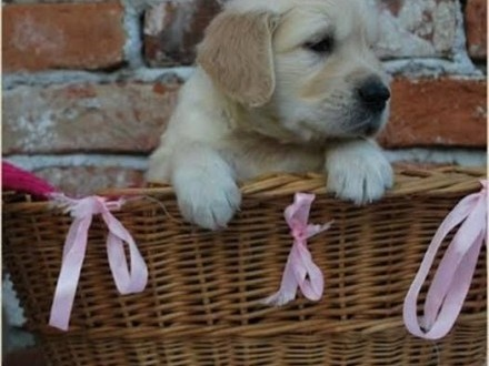 Golden retriever piękne szczenięta   Labrador retriever cała Polska