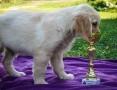 'Golden retriever piękne szczenięta,  Labrador retriever cała Polska