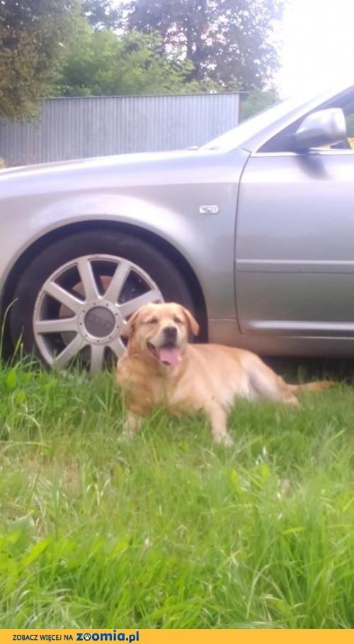 Fado - biszkoptowy labrador szuka domu